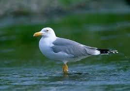 Control da poboación urbana da gaivota
